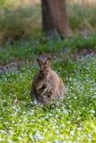 在野花中的Tamanian班奈特的鼠 免版税库存照片
