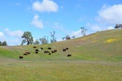 在野花小山的北美野牛  免版税库存照片