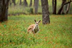 在野花的红色袋鼠戒备 免版税库存图片