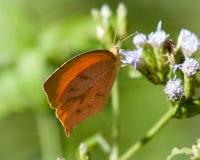 在野花的被盯梢的橙色蝴蝶在得克萨斯 图库摄影