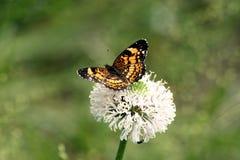 在野花的银色Checkerspot蝴蝶 免版税图库摄影