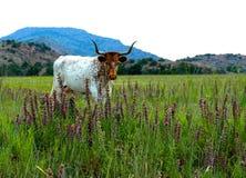 在野花的长角牛 库存照片