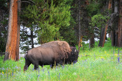 在野花的领域的北美野牛 免版税库存图片