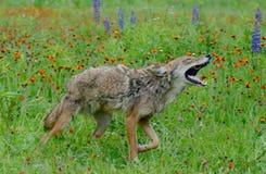 在野花的领域的嗥叫土狼 免版税图库摄影