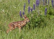 在野花的领域的白尾小鹿 图库摄影