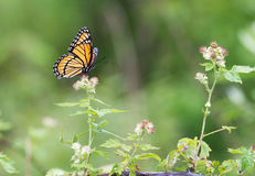 在野花的黑脉金斑蝶 库存图片
