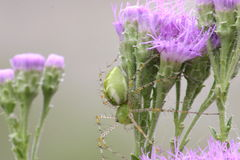 在野花的绿色天猫座蜘蛛 免版税图库摄影