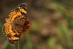 在野花背景的蝴蝶 库存照片