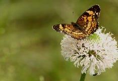 在野花背景的蝴蝶 免版税库存照片