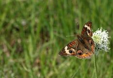 在野花边界的黑脉金斑蝶 库存照片
