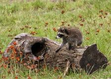 在野花围拢的日志的幼小浣熊 图库摄影