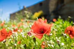 在野草的红色鸦片芽 库存图片