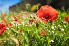 在野草的红色鸦片芽 免版税库存照片