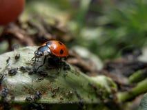 在野豌豆氟乙酰溴苯胺豆叶子的Bird夫人哺养的蚜虫 免版税图库摄影