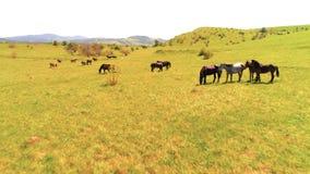 在野马的飞行在山草甸成群 夏天山狂放的自然 自由生态概念 影视素材