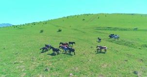 在野马的飞行在山草甸成群 夏天山狂放的自然 自由生态概念 股票视频