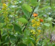 在金丝桃属植物花的蝴蝶  库存照片