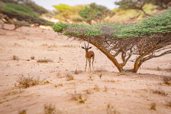 在金合欢树下的瞪羚寻找的风雨棚 免版税库存图片