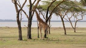 在金合欢树大草原的非洲成人长颈鹿吃他们的叶子并且咆哮 影视素材