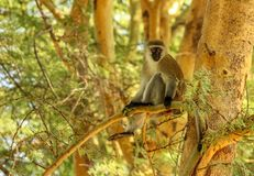 在金合欢树枝的黑长尾小猴 库存照片