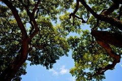在金合欢树的阴影 免版税图库摄影