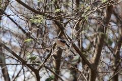 在金合欢灌木的被掩没的shrike拉尼厄斯nubicus 库存图片