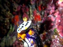在金嘴的Chromodoris Dianae nudibranch在印度尼西亚海鞘在珊瑚的Polycarpa aurata 股票录像