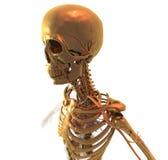 在金子的解剖学 库存图片