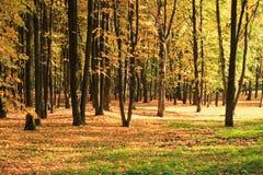 在金子秋天的结构树 免版税库存图片