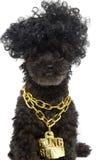 在金子Bling链子的长卷毛狗 免版税库存图片