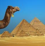 在金字塔前面的骆驼在埃及 免版税库存图片