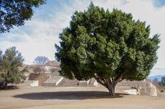 在金字塔旁边的Monte奥尔本瓦哈卡墨西哥巨大的树 免版税库存图片