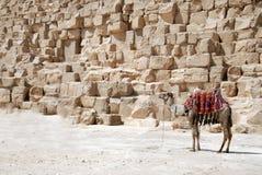 在金字塔附近的骆驼 免版税库存图片