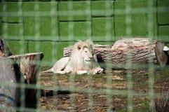 在金属丝网后的白色狮子 免版税库存图片