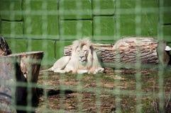 在金属丝网后的白色狮子 免版税图库摄影