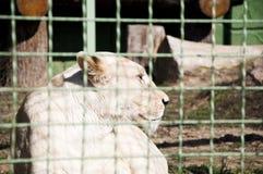 在金属丝网后的白色liones 库存图片