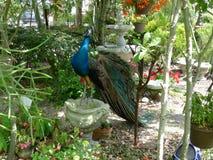 在金属和自然公园的孔雀 免版税库存照片