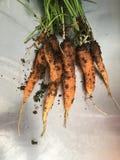 在金属桌上的新红萝卜束 库存图片
