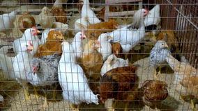 在金属笼子的家养的禽畜 库存照片