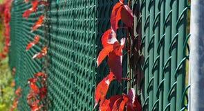在金属篱芭的红色藤 免版税库存图片