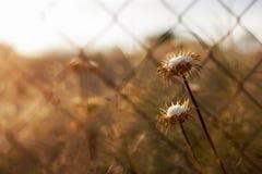 在金属线篱芭后的蓟植物 免版税库存照片