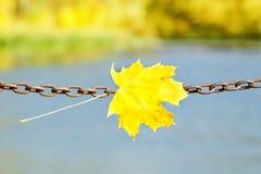 在金属链子的黄色枫叶 秋天概念查出的白色 库存照片