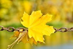 在金属链子的黄色槭树叶子 秋天概念查出的白色 免版税库存图片