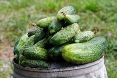 在金属顶部的新近地被收获的腌制的黄瓜在庭院里用桶提 库存图片