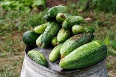 在金属顶部的新近地被收获的腌制的黄瓜在庭院里用桶提 免版税图库摄影