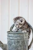 在金属水罐头的小猫哭泣的猫叫声 免版税库存图片