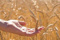 在金成熟麦子小尖峰中的人的手在领域,新的庄稼,午间太阳 图库摄影