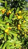 在金桔树的金桔 免版税库存照片