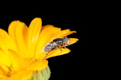在金盏草的花飞行 宏指令 库存图片