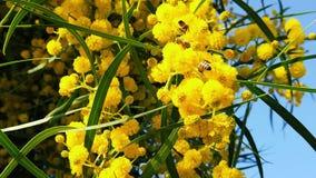 在金荆树的春天蜂开花13慢动作 股票录像